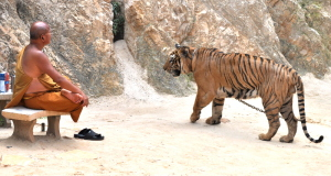 tiger temple pattaya