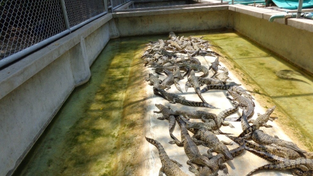 crocodile farm pattaya
