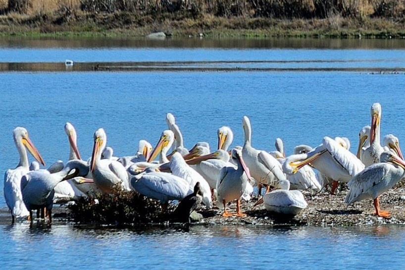 пеликаны в паттайе