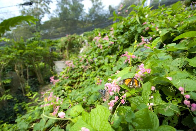 butterflies garden samui
