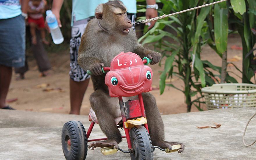 театр обезьян самуи